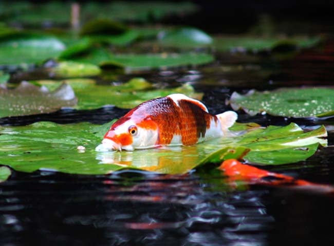 koi_barry_badenhop2