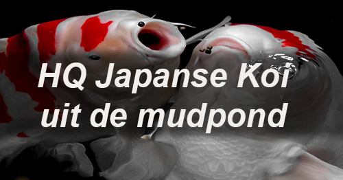 hq koi uit japan